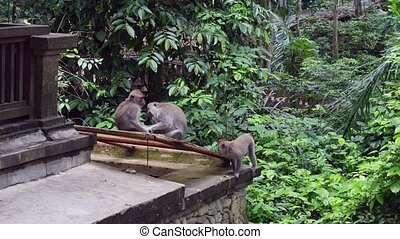 Three cute monkey on building background in tropical forest...