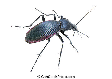 insect ground beetle (Carabus prodigus)isolated in white...