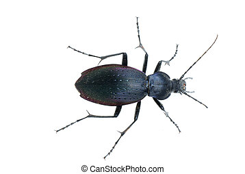 ground beetle insect - insect ground beetle (Carabus...