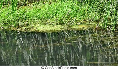 River with algae and blue dragonflies in summer - River with...