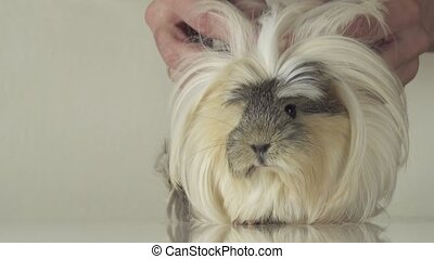 Beautiful guinea pig breed Coronet cavy slow motion -...