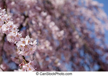 Weeping cherry blossoms - Close up weeping cherry blossoms...