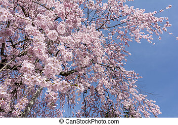 Weeping cherry blossoms - Looked up pink weeping cherry...
