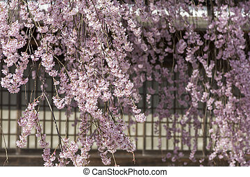 Weeping cherry blossoms - Clustered weeping cherry blossoms...