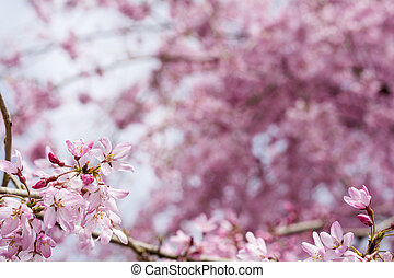 Weeping cherry flower - Close up gradation weeping cherry...