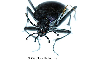 insect ground beetle bug - insect ground beetle Carabus...