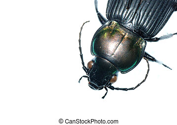 insect ground beetle bug - insect ground beetle isolated in...