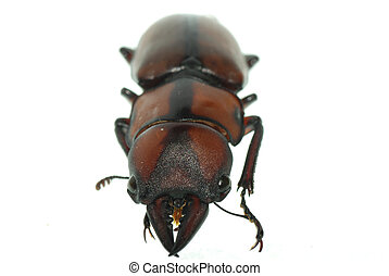 insect stag beetle