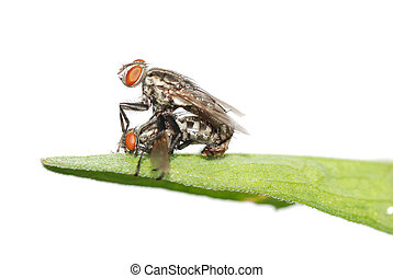 mating fly insect isolated