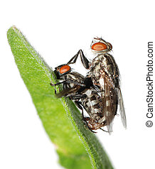 mating fly insect isolated - mating fly insect macro...