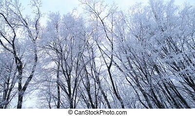 trees covered with snow - Trees covered with snow against...