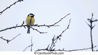beautiful small bird great tit in winter - beautiful small...