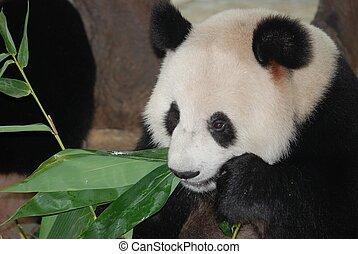 巨人, 熊貓, 熊