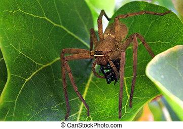 uso, huntsman, ragno, veleno, preda, immobilizzare, scarabeo...