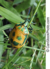 Male Hibiscus Harlequin Bug - A male Hibiscus Harlequin Bug...