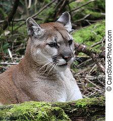 Cougar @ Northwest Trek Wildlife Park, WA.