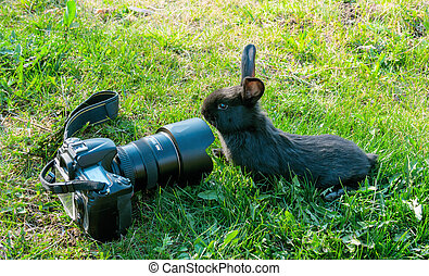 Curious rabbit and the camera. - Curious rabbit and the...