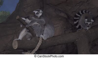 Group of Ring-tailed lemur on tree branch stock footage...