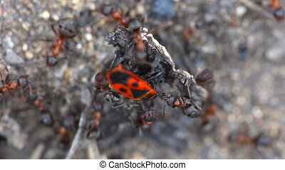 Fight ants with beetle. - Ants attacking beetle pyrrhocoris...