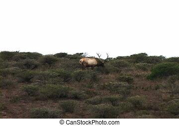 Single elk grazing on hill