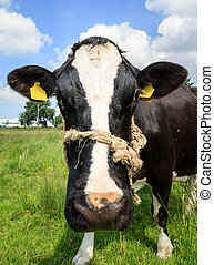 Black and white Holstein close up - Funny close-up of a...