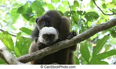 white-headed lemur (Eulemur albifrons) on tree -...