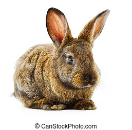 Brown bunny rabbit. - Isolated image of a brown bunny...