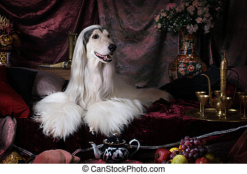 Purebred white Afghan hound dog lying on the carpet in the...