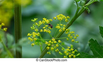 Ant - Ant on the fennel flower
