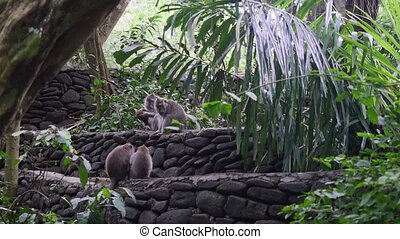 Family of monkeys in forest tropical Indonesia. Wild mammals...