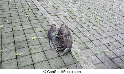 Family games monkeys in Indonesia. Wild mammals on the...