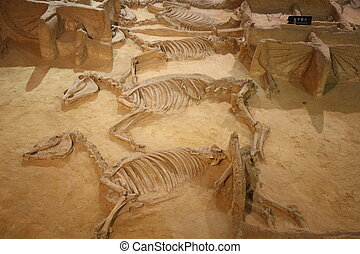 Archaeological museum - Ancient skeletons of horses with...