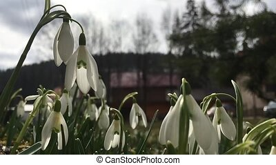 Snowdrops swaying in the wind - Snowdrops flowers swaying in...