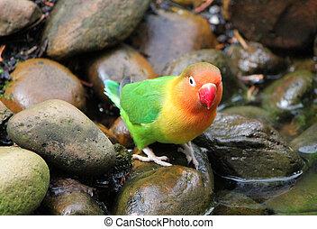 Agapornis bird standing on a stone - Bird agapornis-fischeri...