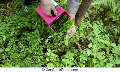Human hand gathering wild ripe blueberries in the forest and...