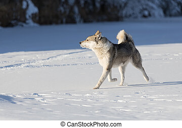 hunting Siberian Laika closeup on the snow in motion