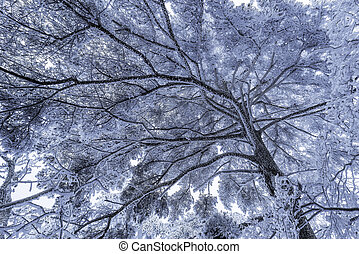 Winter crown of the pine tree in Huangshan National park....