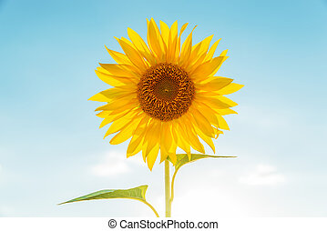 flower of sunflower in light blue sky background