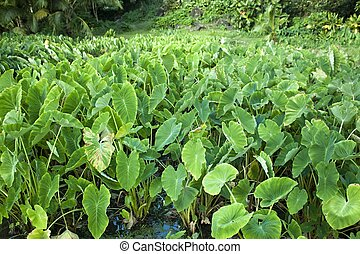taro plants growing in a field - A field of taro plants...
