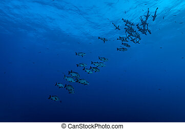 Black snapper shoal - Shoal of black snapper fish (Macolor...
