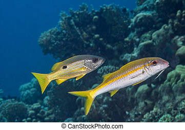 Fish mimicry between Ehrenbergs snapper (Lutjanus...