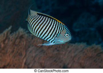 Angelfish - Zebra angelfish (Genicanthus caudovittatus)...