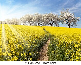 Rapeseed, canola or colza field with parhway and alley of...