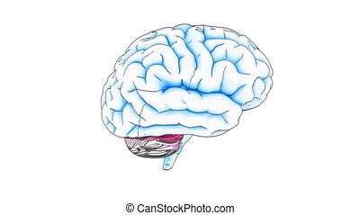 brain draw - A drawing of a human brain on white background...