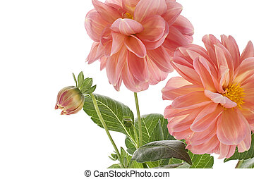 dahlia - Studio Shot of Orange and Pink Colored Dahlia...