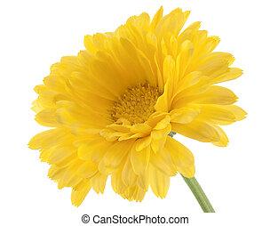 calendula - Studio Shot of Yellow Colored Calendula Isolated...