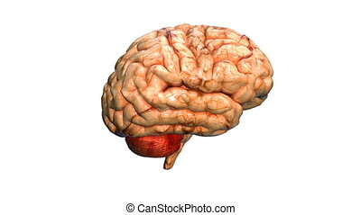 brain real - A realistic human brain isolated on white with...
