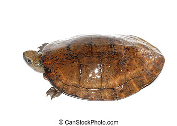 Four-eyed turtle Sacalia quadriocellata
