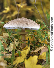Mushrooms on with latin name agaricus silvaticus in a forest...