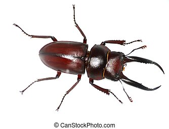 insect stag beetle bug